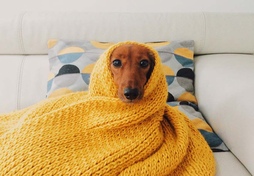 Dog wrapped up in yellow blanket