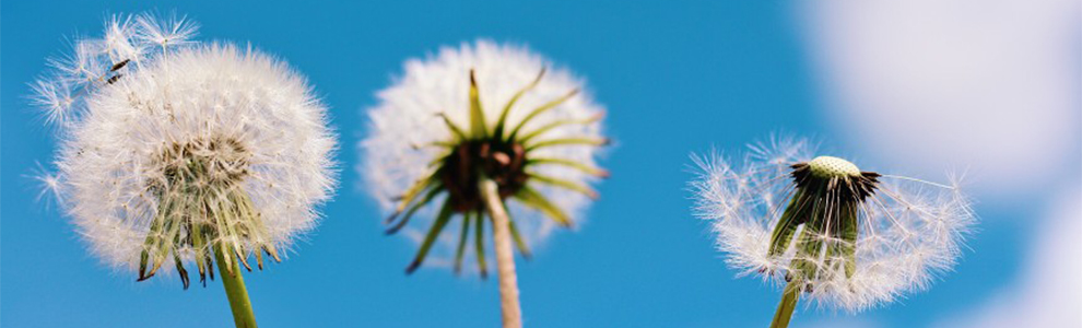 Three dandelions in front of a blue sky