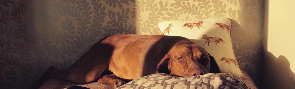 red dog laying on bed with pretty wallpaper on walls in background