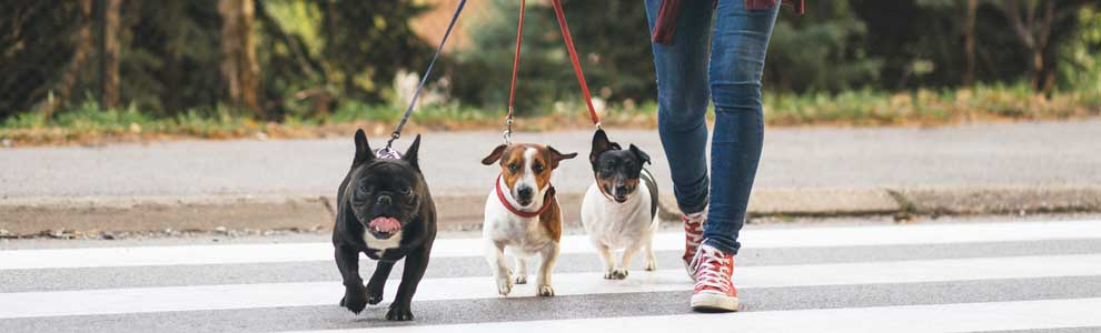 person in red Converse sneakers walking three dogs