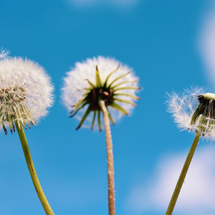 Dandelions in front of a blue sky