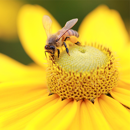 close up of a bee perched in the center of a yellow flower