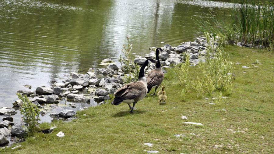Ducks in Quinn's Pointe